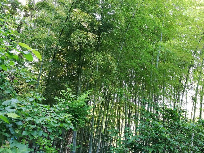 明月院の竹林2